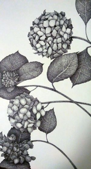Graphics, Drawing ink - Hydrangeas